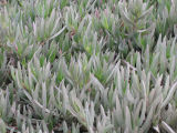 Iceplant at Bodega Bay