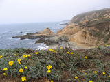 California poppies at Bodega Bay